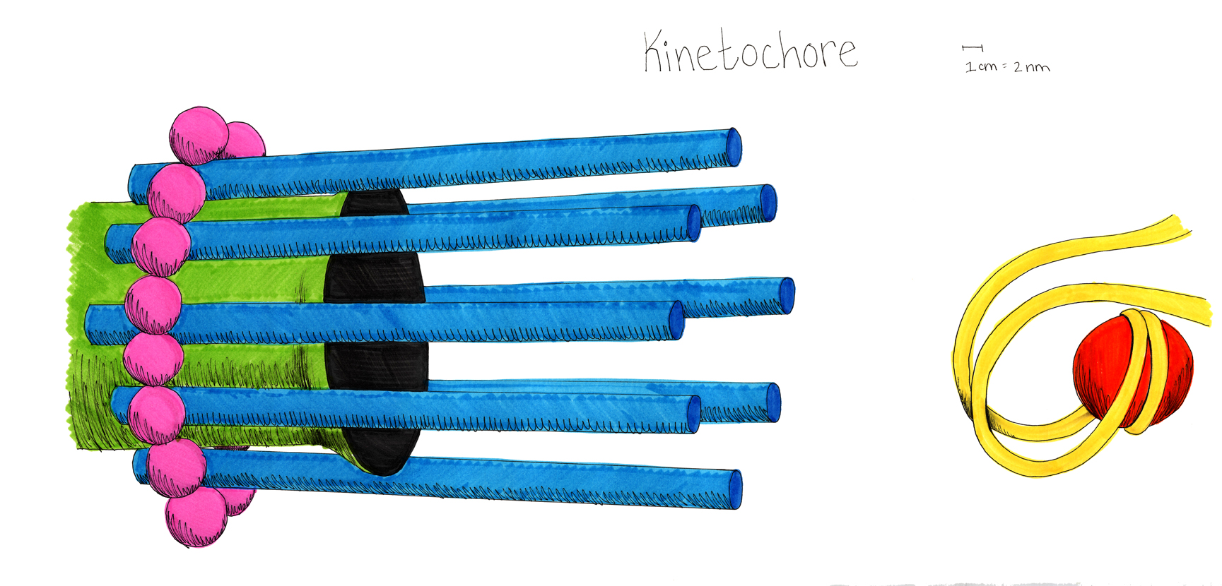 This drawing shows the structure of the kinetochore. A microtubule (green) with a flared end is surrounded by 8 thin rods/proteins (blue), which are then enclosed by 16 proteins (pink). This structure then connects (in a way that is not shown) to the DNA strand (yellow) while it is in a hook-like structure holding the cse4 nucleosome.