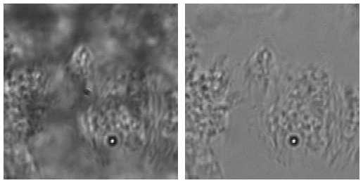 Beating cilia on lung epithelium cells (left) and result of stationary component removal (right).